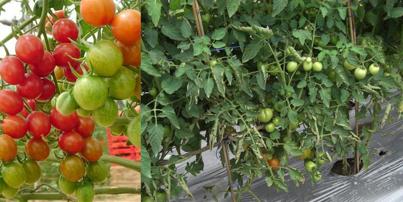 Tanam Tomat dari Buah