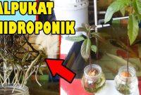 Mudahnya Budidaya Alpukat dalam Pot 3