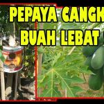 Cara Mencangkok Pohon Pepaya (Papaya Tree Grafting Technique)