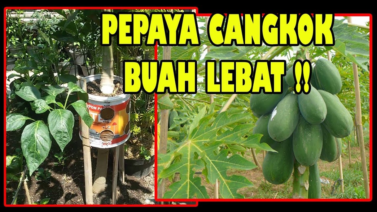 Cara Mencangkok Pohon Pepaya (Papaya Tree Grafting Technique) 1