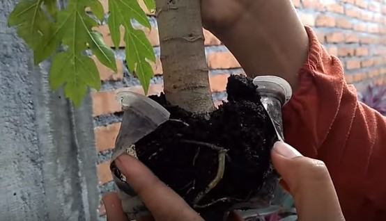 cara mencangkok pohon pepaya