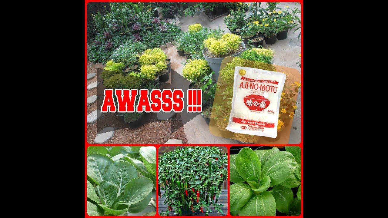 khasiat ajinomoto untuk tanaman