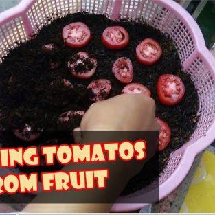 Cara Mudah Semai dan Tanam Tomat dari Buah