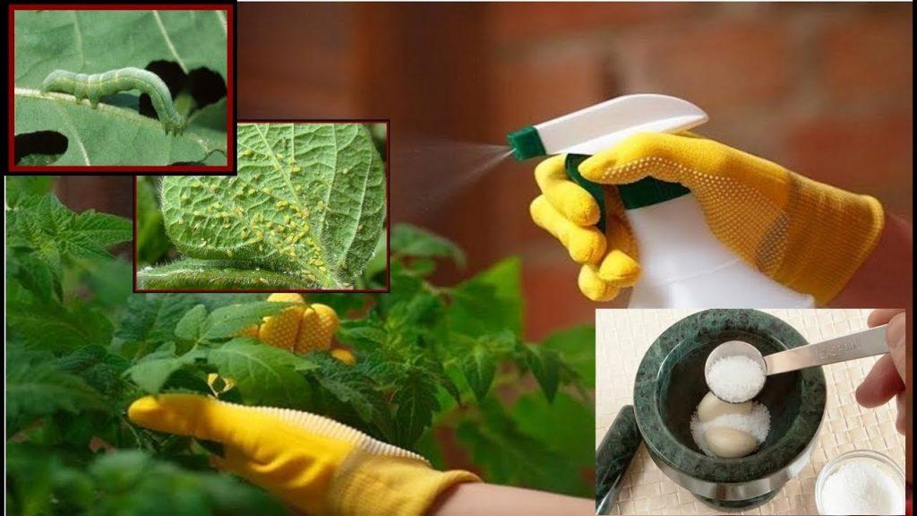 pestisida organik bawang putih