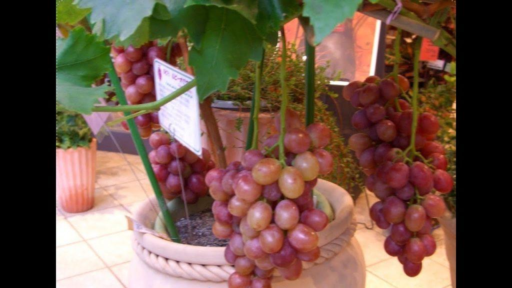tanaman anggur dalam pot