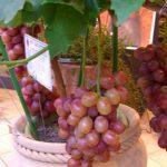 Anggur Kerdil dalam Pot