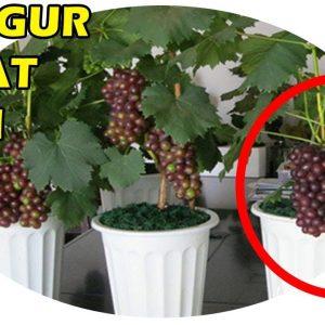 Budidaya Anggur Kerdil dalam Pot