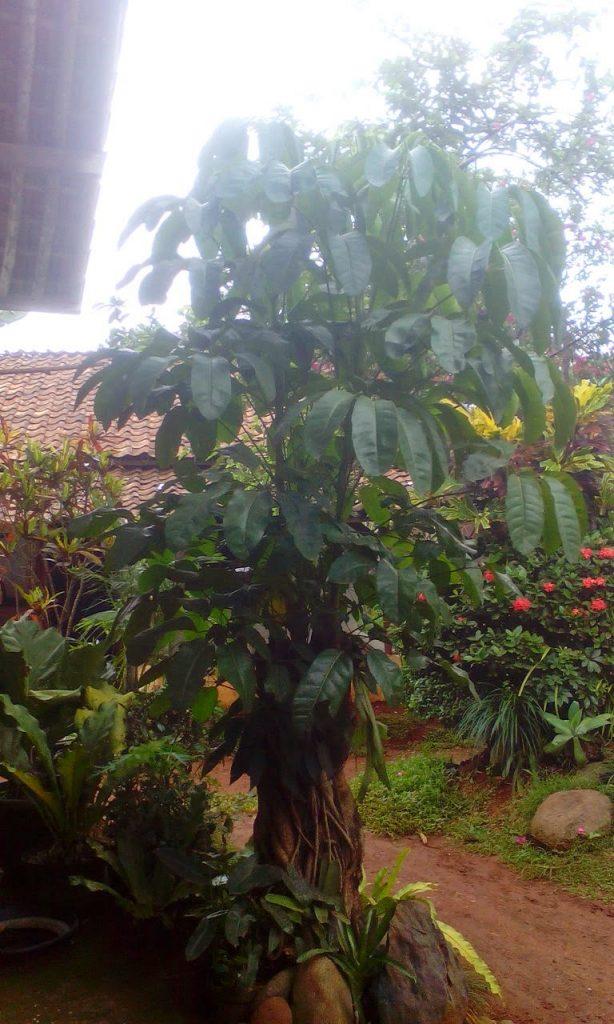 Pohon Wali Songo