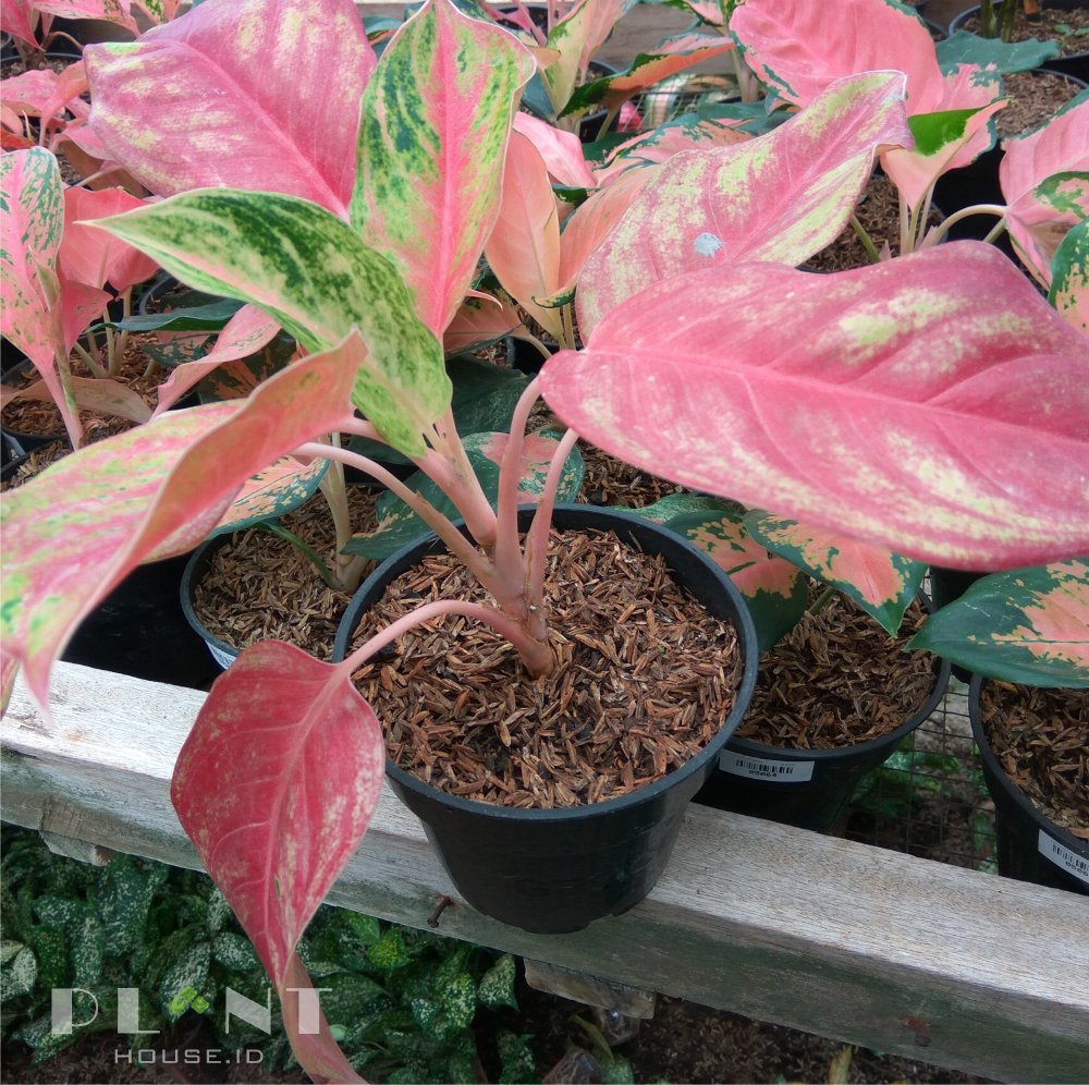 Aglaonema Red Panama