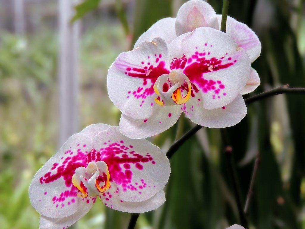 Tanaman Hias Bunga Anggrek