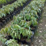 Bibit Durian Ukuran 50 cm