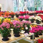 Tanaman Hias Bunga untuk Daerah Tropis