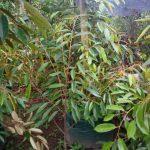 durian 1-1.2 meter