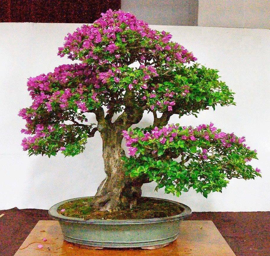 Bonsai Bougenville Unik