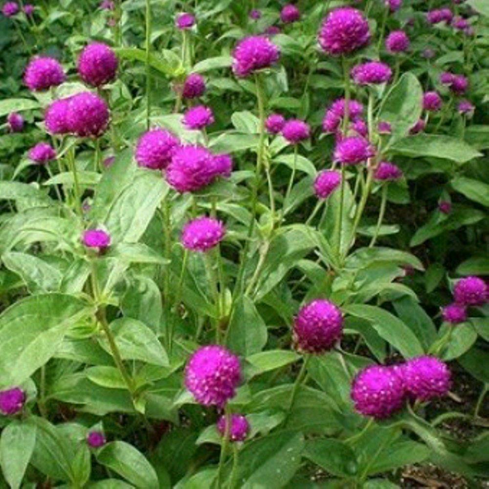 Tanaman Bunga Kenop