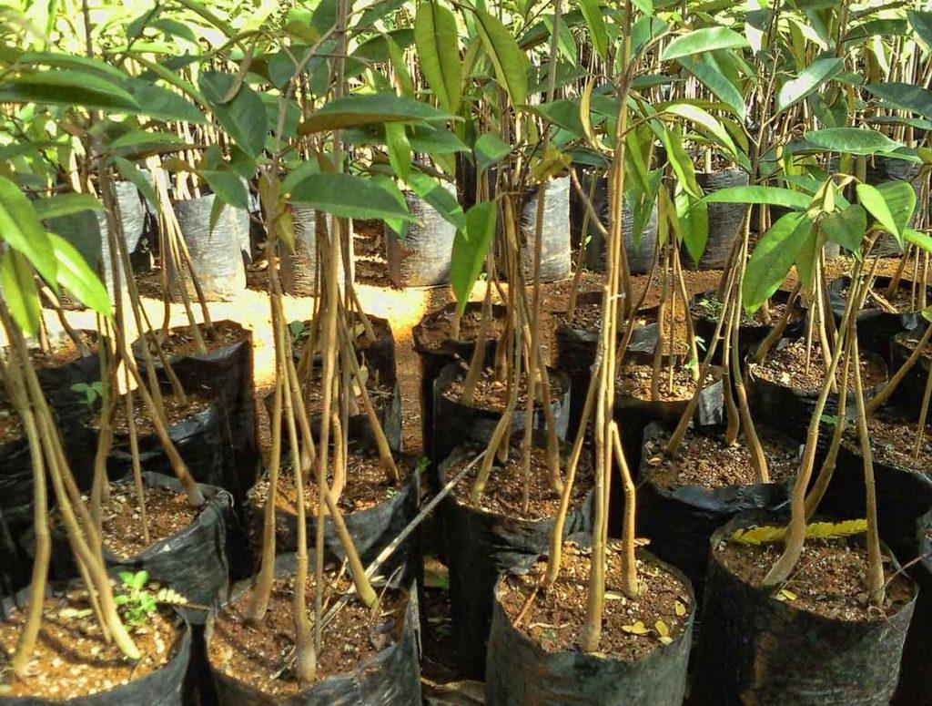 Bibit Durian Bawor, Musangking, Montong dll