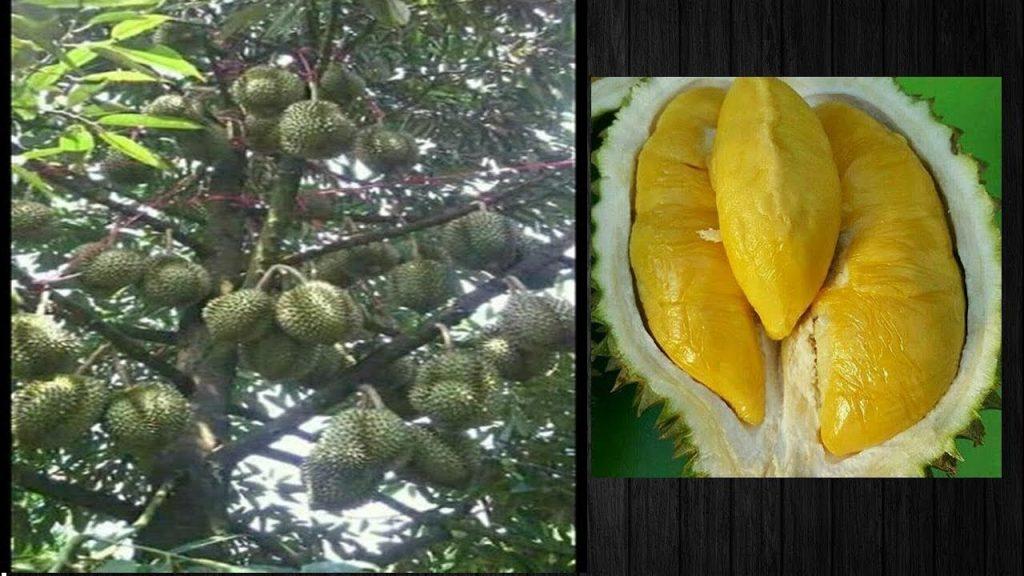 Budidaya Durian Musang King