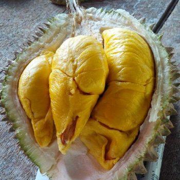 Durian Musang King, Budidaya Mudah Hasil Melimpah