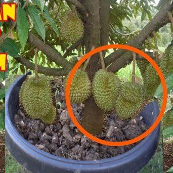Budidaya Tanaman Durian agar Cepat Berbuah dan Produktif