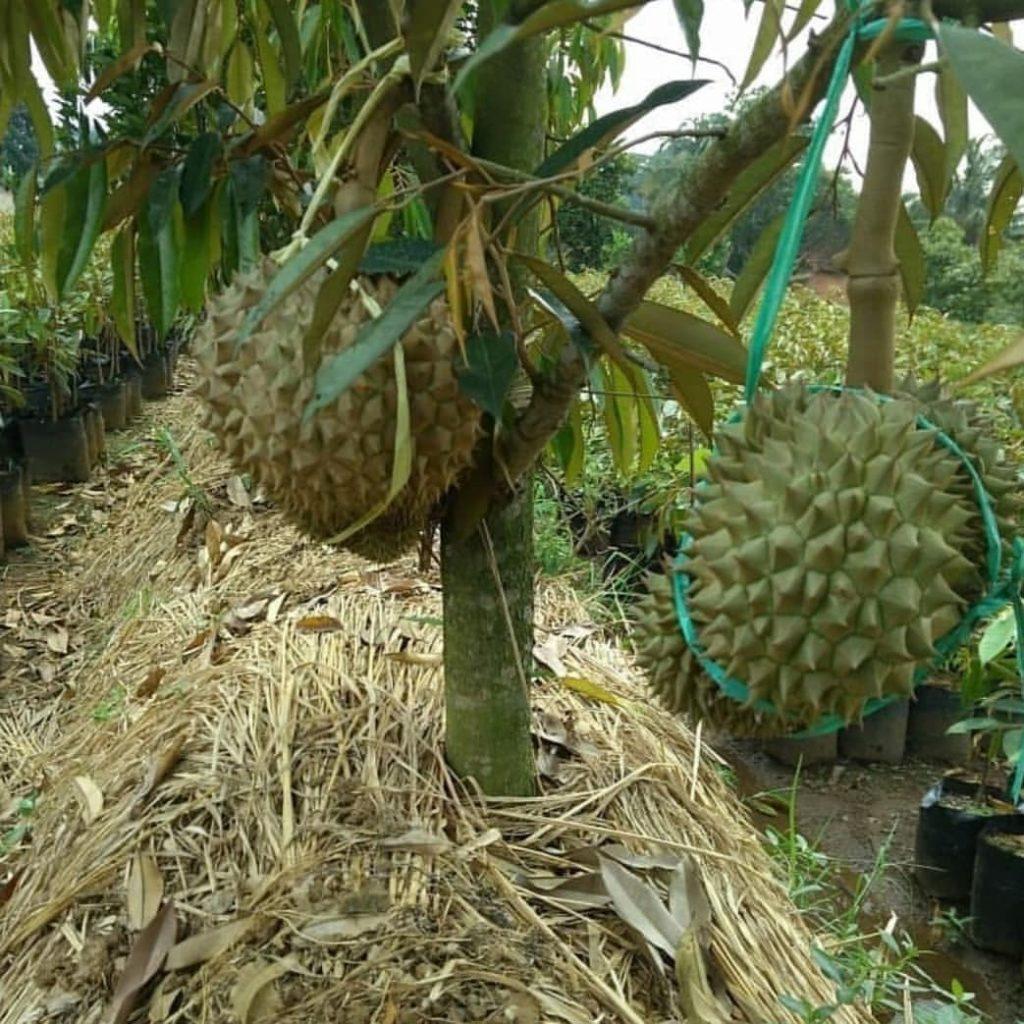 Penutupan Mulsa Tanaman Durian