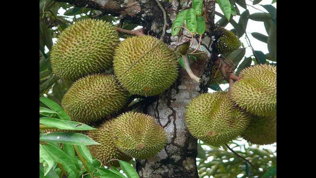 Pohon Durian Musang King