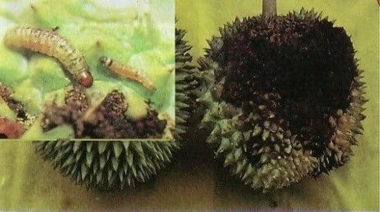 penyakit durian busuk buah