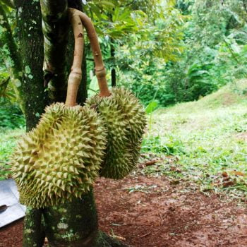 AWAS! Hama & Penyakit Durian Berikut bisa Membunuh Pohon Kesayangan Anda