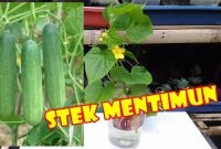 Budidaya Mentimun dengan Stek Tunas Air