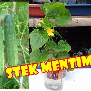 Budidaya Mentimun Metode Stek Batang