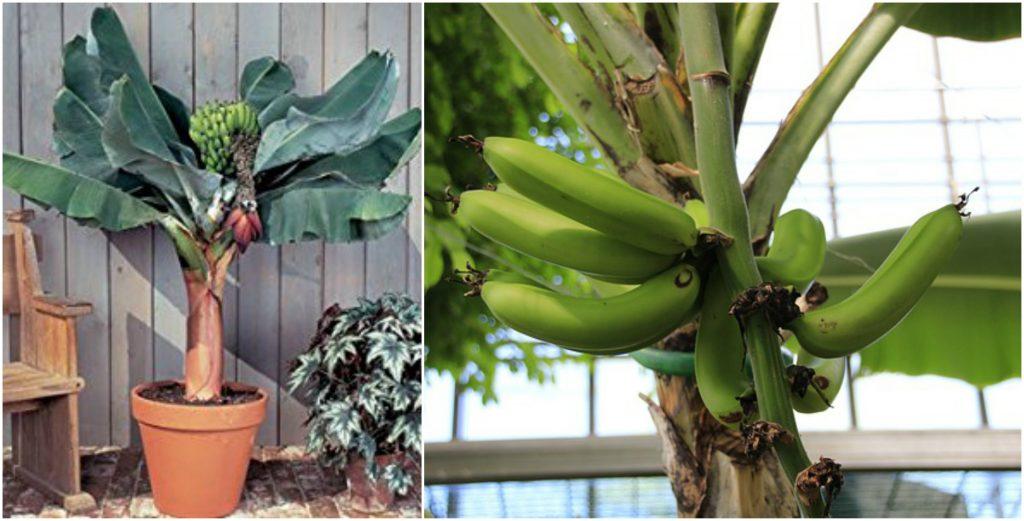 tabulampot pisang kerdil berbuah lebat