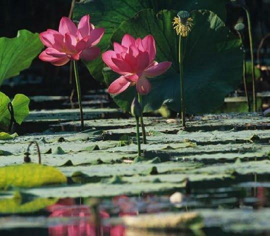 Tanaman Air Lotus atau Seroja