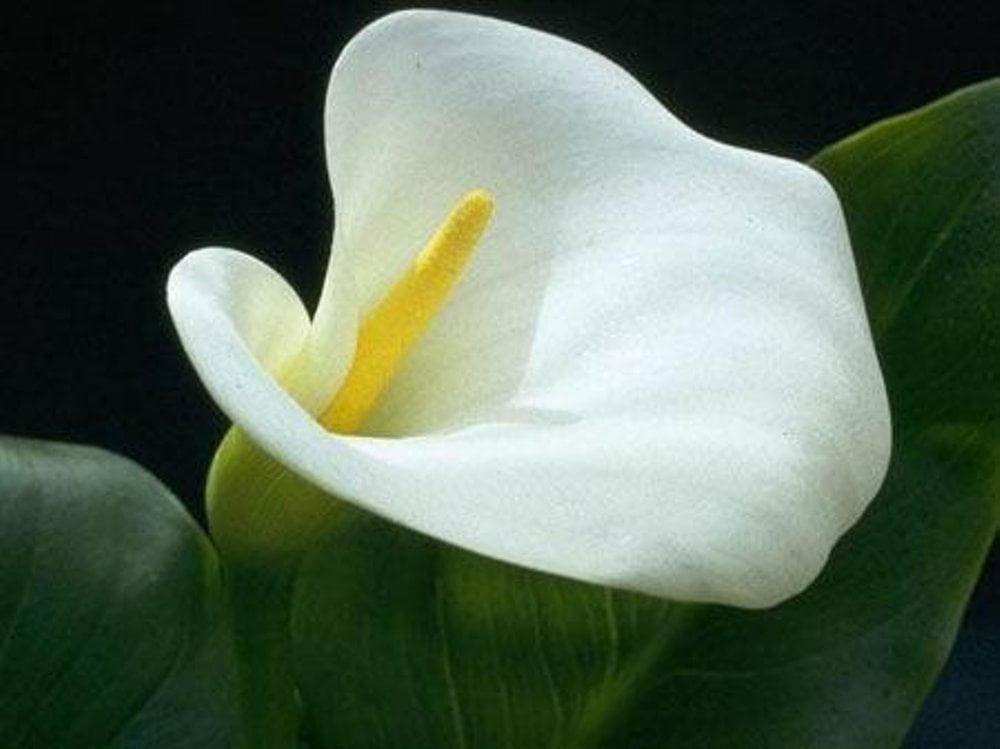 Tanaman Kala lili