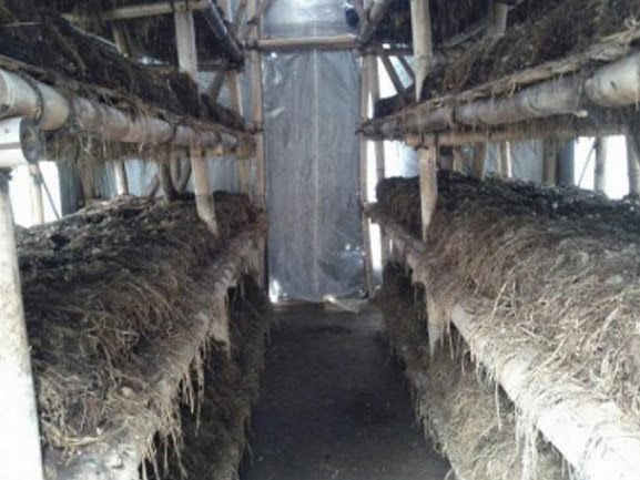 Kumbung Jamur Merang
