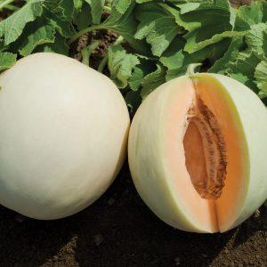 9 Langkah PRAKTIS Budidaya Melon Hasil Melimpah