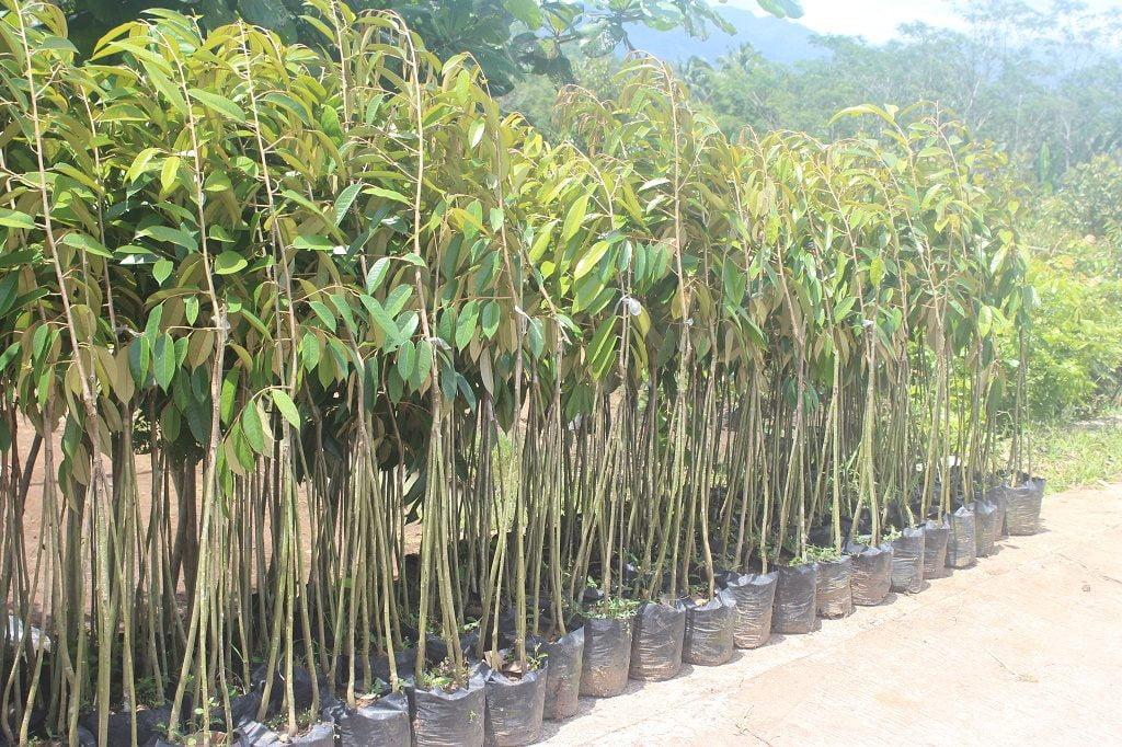 Bibit Durian Bawor kaki tiga