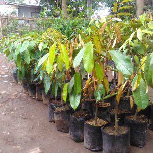 Tips Memilih Bibit Durian yang Cepat Berbuah