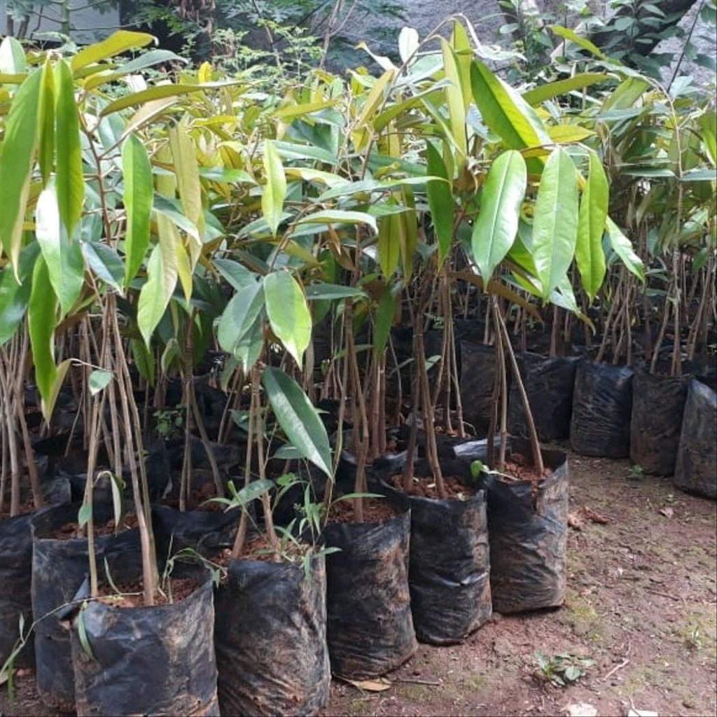 Pohon Durian Pendek Berbuah Lebat