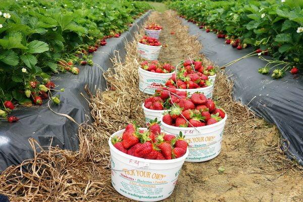 budidaya strawberry di lahan bedengan
