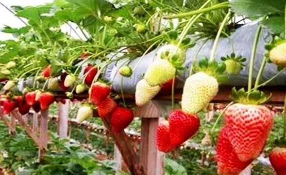 panduan budidaya strawberry untuk pemula