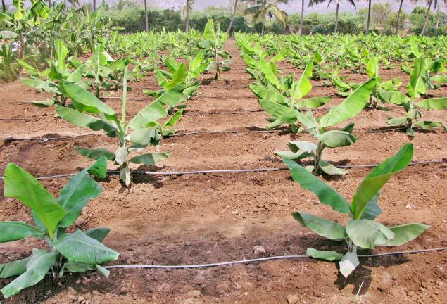 Penanaman pohon pisang