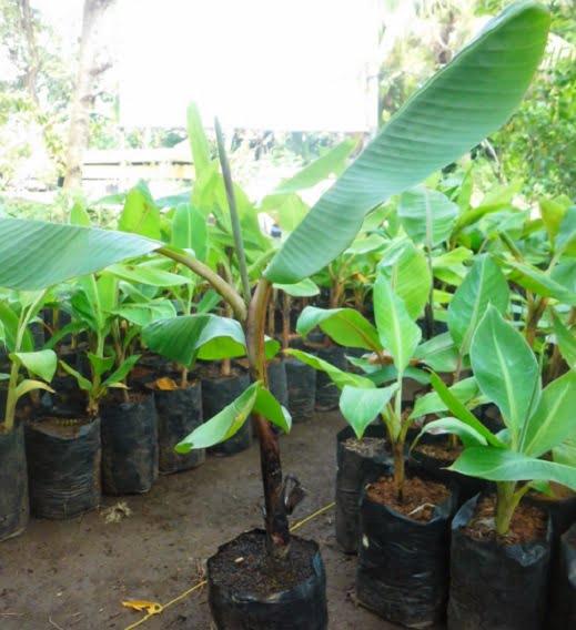 bibit pohon pisang