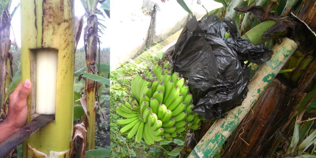 cara menanam pisang berbuah cepat