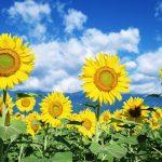 Cara Menanam Bunga Matahari PALING Mudah & Praktis