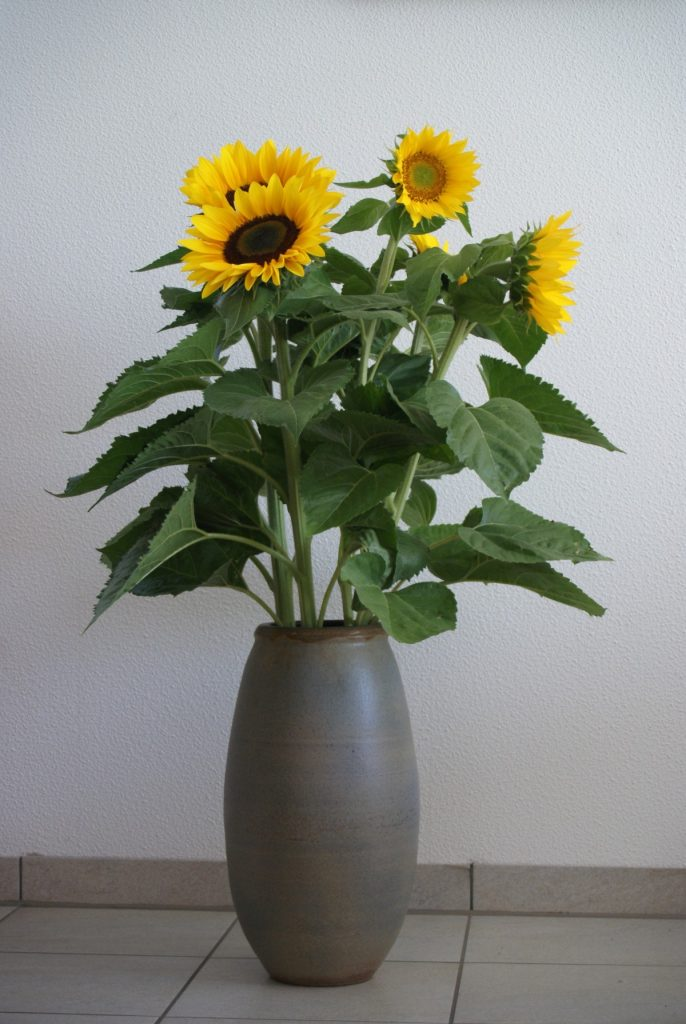 Bunga Matahari untuk Hiasan Indoor