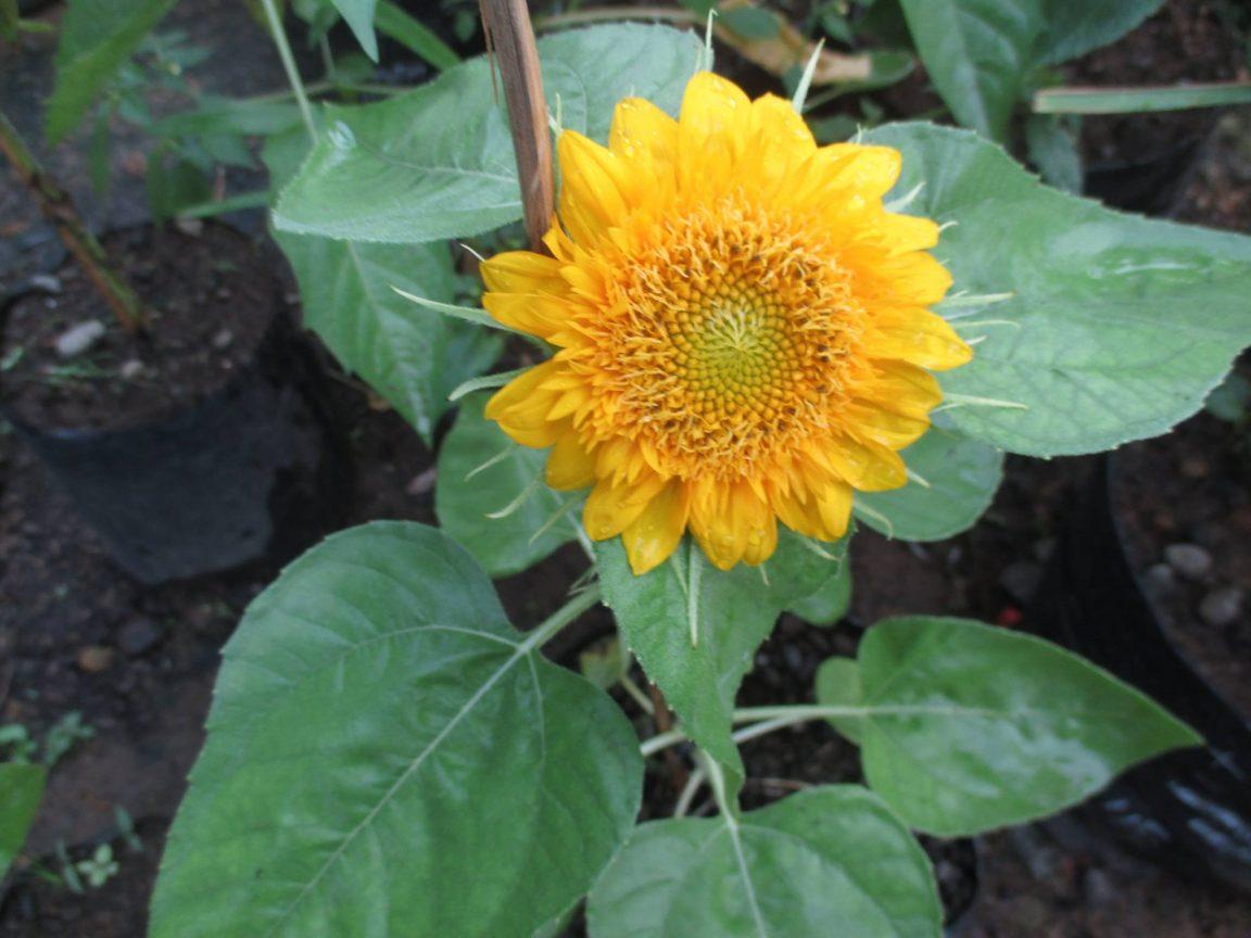 Cara Menanam Bunga Matahari Cara Menanam Bunga Matahari Paling Mudah Praktis Taman Inspirasi Safa