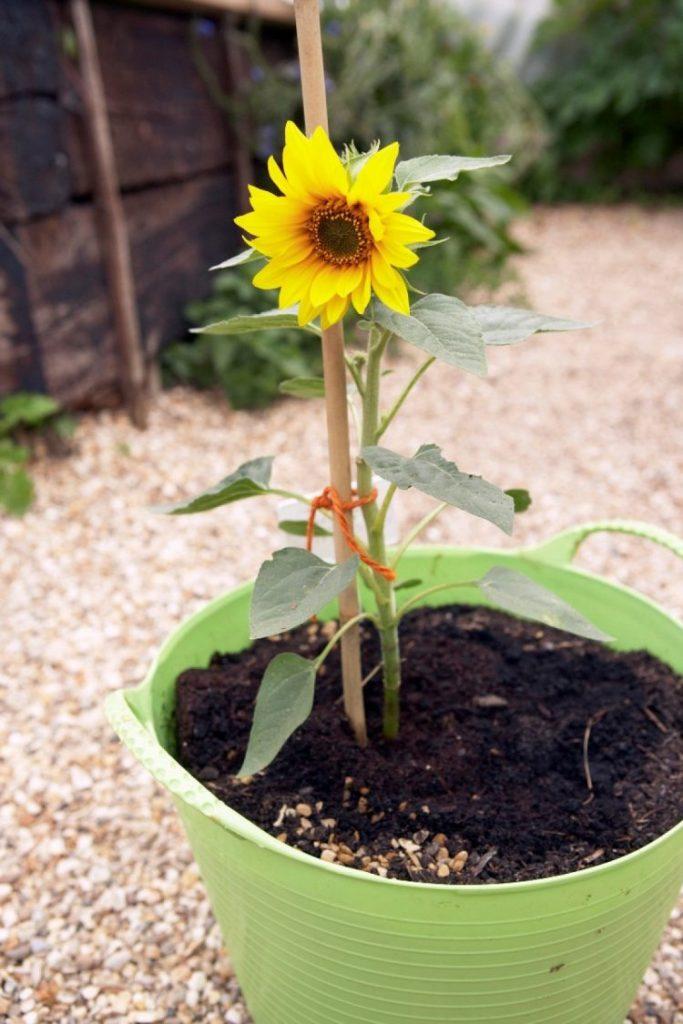 Menanam Bunga Matahari dalam Pot