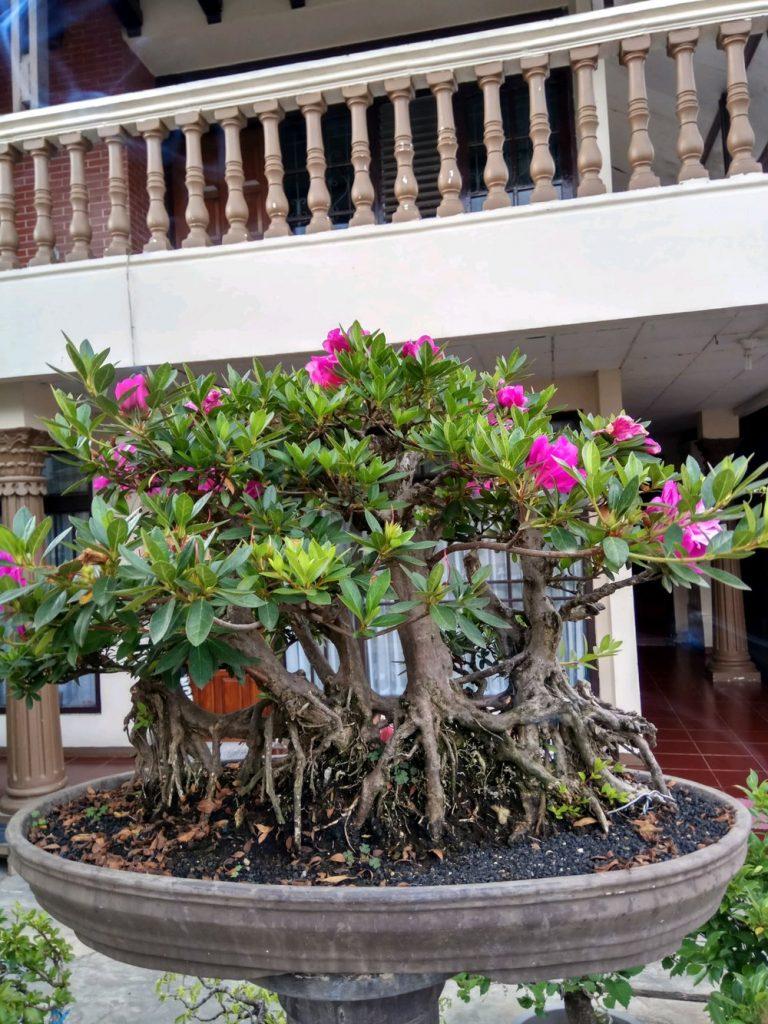 Budidaya Bonsai Azalea di Rumah