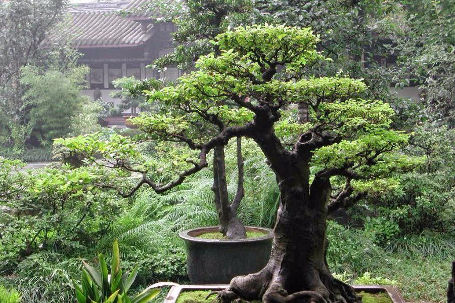 Membuat bonsai serut unik