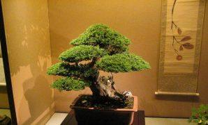 Merawat bonsai serut