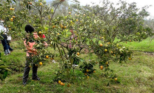 Agrowisata Petik Jeruk di Kintamani
